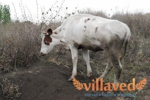 Шишки на теле у коровы