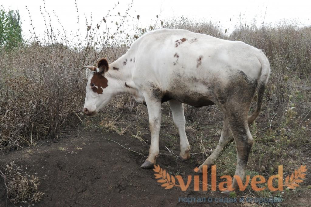 Что делать если у быка болят ноги 8