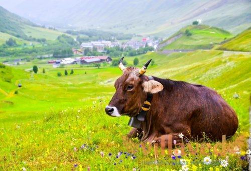 Сколько лет живет корова