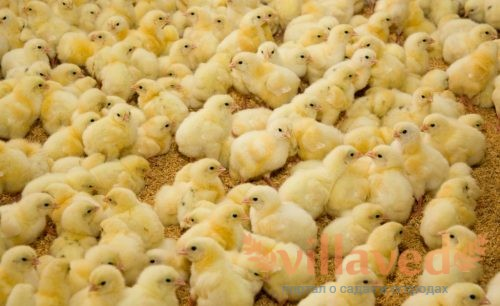 Суточные цыплята-бройлеры