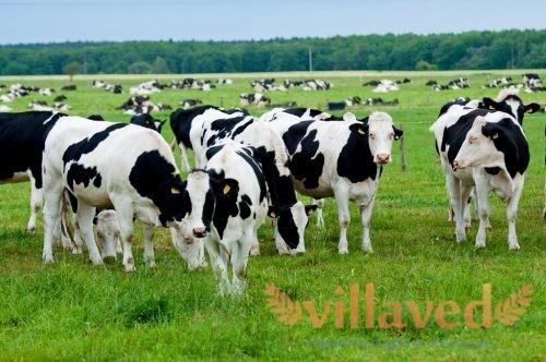 Температура тела у коровы