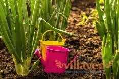 Выращивание лука на зелень из семян