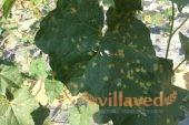 Белый налет на винограде и листьях