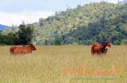 Бестужевская порода коров