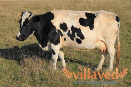 Болезни коров и быков