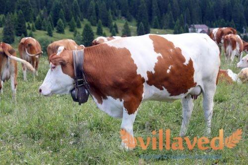 Болезни суставов у коров и телят