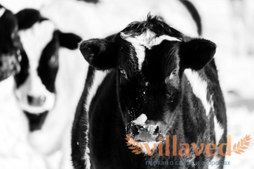 Молочные инфекции: чем опасно сырое молоко