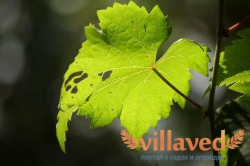 Чернеют листья и ягоды винограда