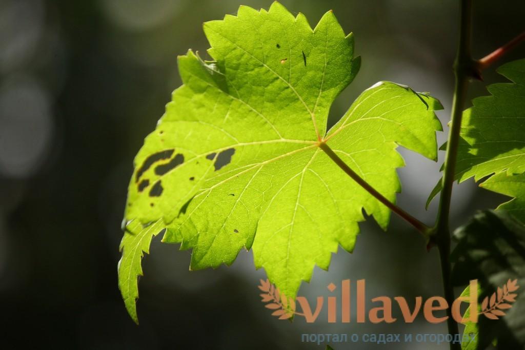 Почему чернеют листья у долларового дерева