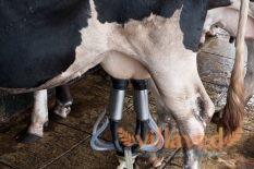 Если у коровы кровь в молоке