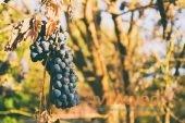 Гниют ягоды на винограде