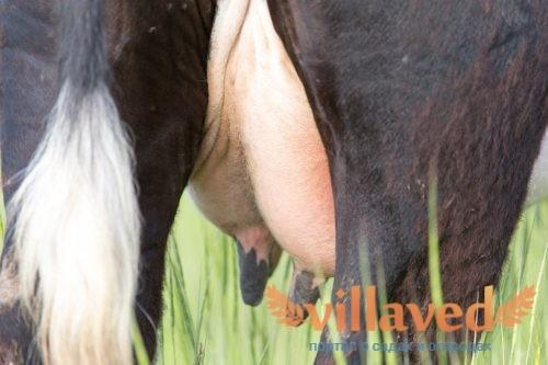 Как лечить отек вымени коровы