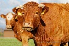 Как запустить желудок у коровы