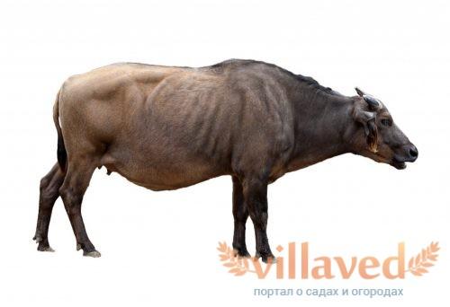 Карликовый лесной буйвол