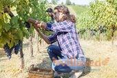 Обработка винограда на зиму