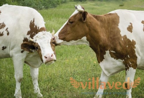 Осеменение коров