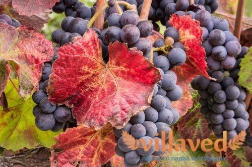 Почему краснеют листья у винограда