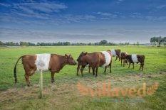 Порез у коровы после отела