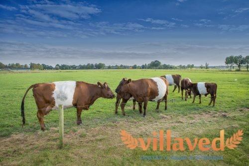 Парез у коровы после отела