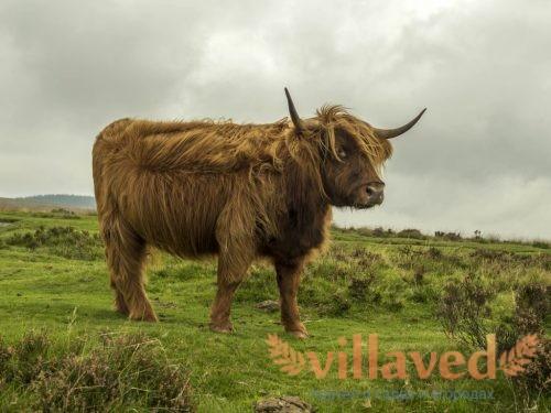Порода коров Хайленд