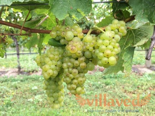 Осенняя прививка винограда