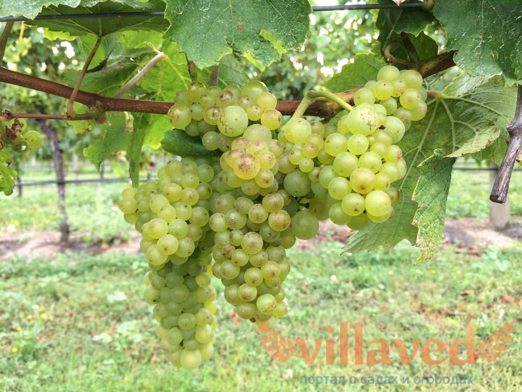 Прививка винограда осенью, весной и летом: сроки и время