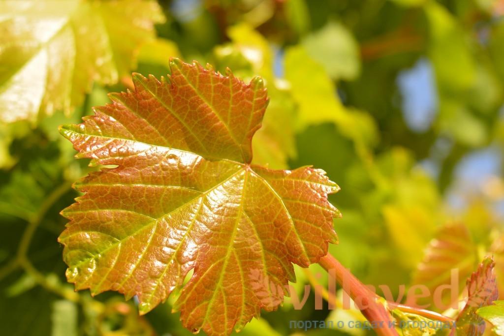 Что означают коричневые пятна на листьях винограда