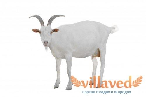 Шишка у козы
