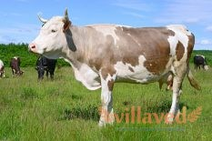 Сколько весит корова