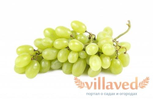 Виноград божена описание сорта фото отзывы