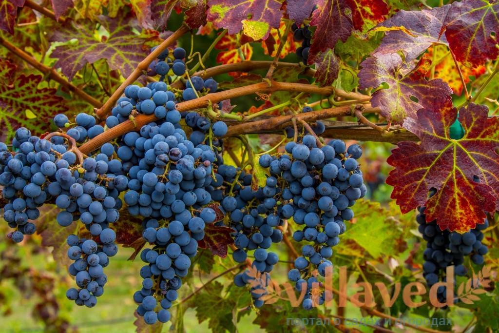 Виноград сорта Каберне Кортис — классика ранней спелости - Сорта винограда, Винные
