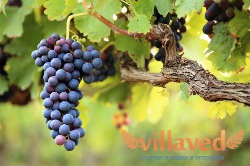 Виноград мускат беседочный