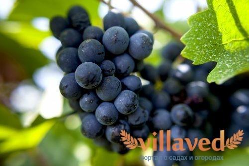 Виноград пино-нуар