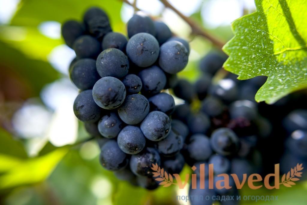 Пино нуар (Pinot Noir). Сорт винограда и вино из него