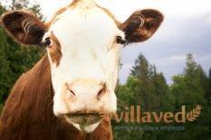 Яловая корова