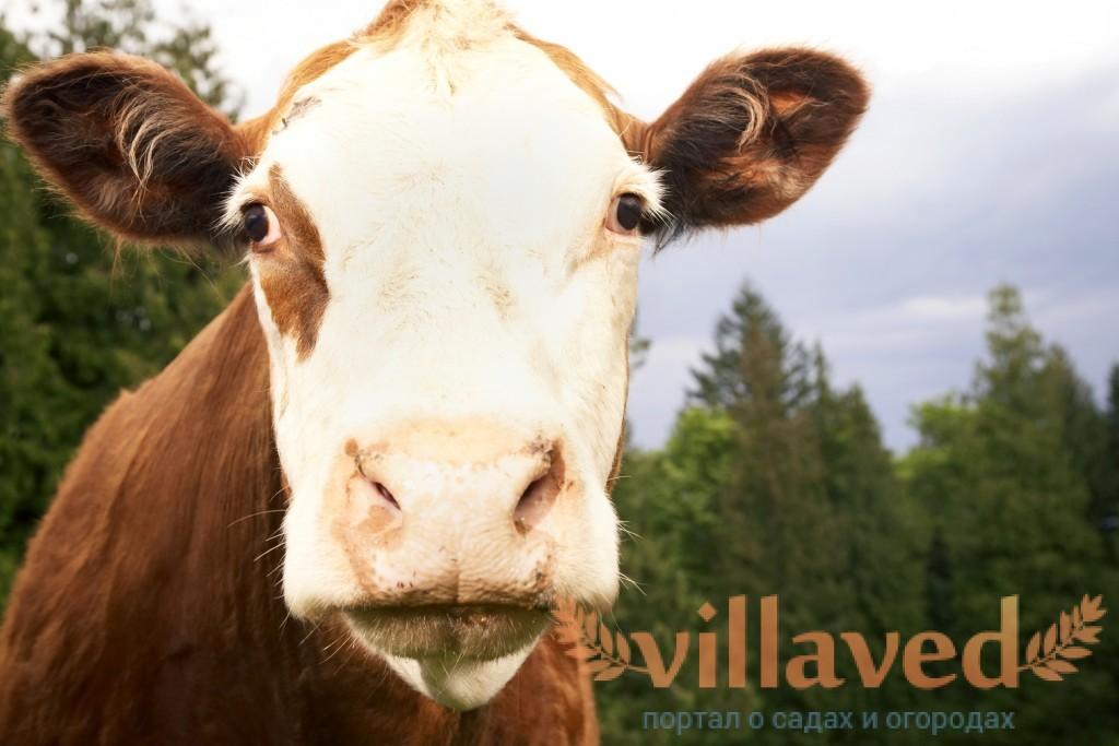 Яловая корова как раздоить яловую корову