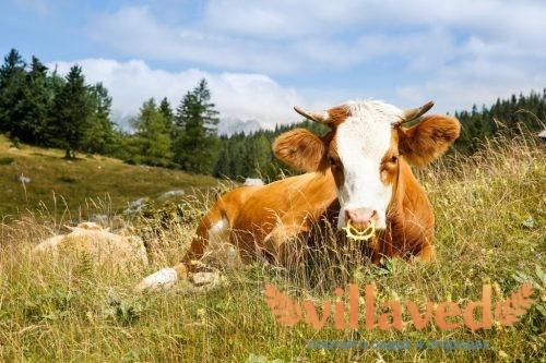 Ящур у коровы