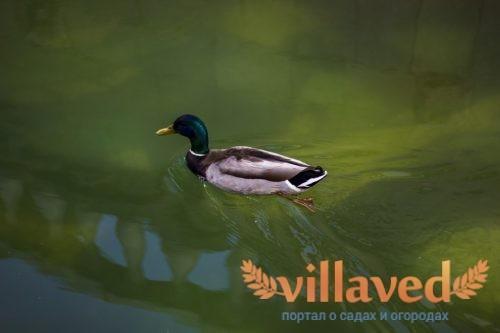 Башкирская утка