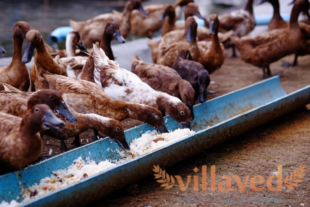 Что едят утки в домашних условиях 48