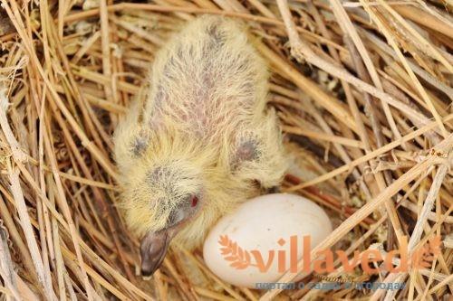 Где голуби прячут своих птенцов