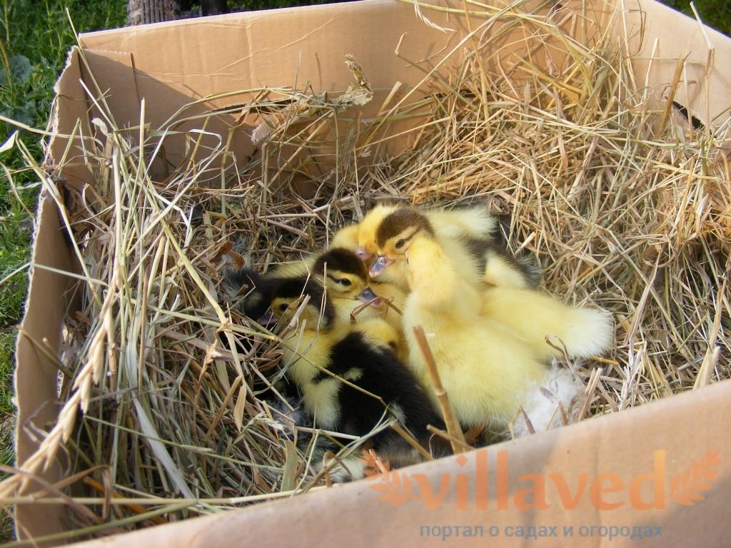 Гнездо для уток своими руками 2
