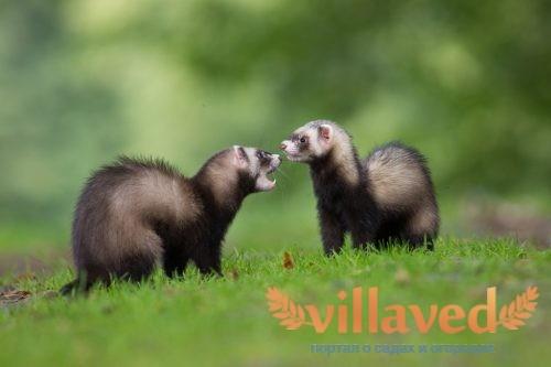 Хорьки: фото, виды, описание, характеристика животных