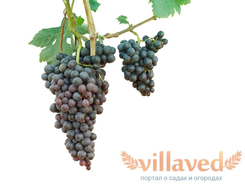Сохранить виноград в домашних условиях