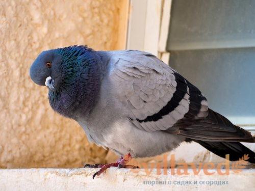 Как избавиться от голубей