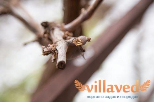 Как посадить черенки винограда весной
