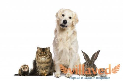 Как уживаются хорьки с кошками и собаками