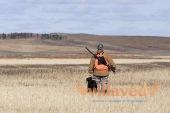 Охота на перепела