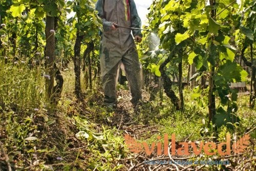 Опрыскивание винограда осенью