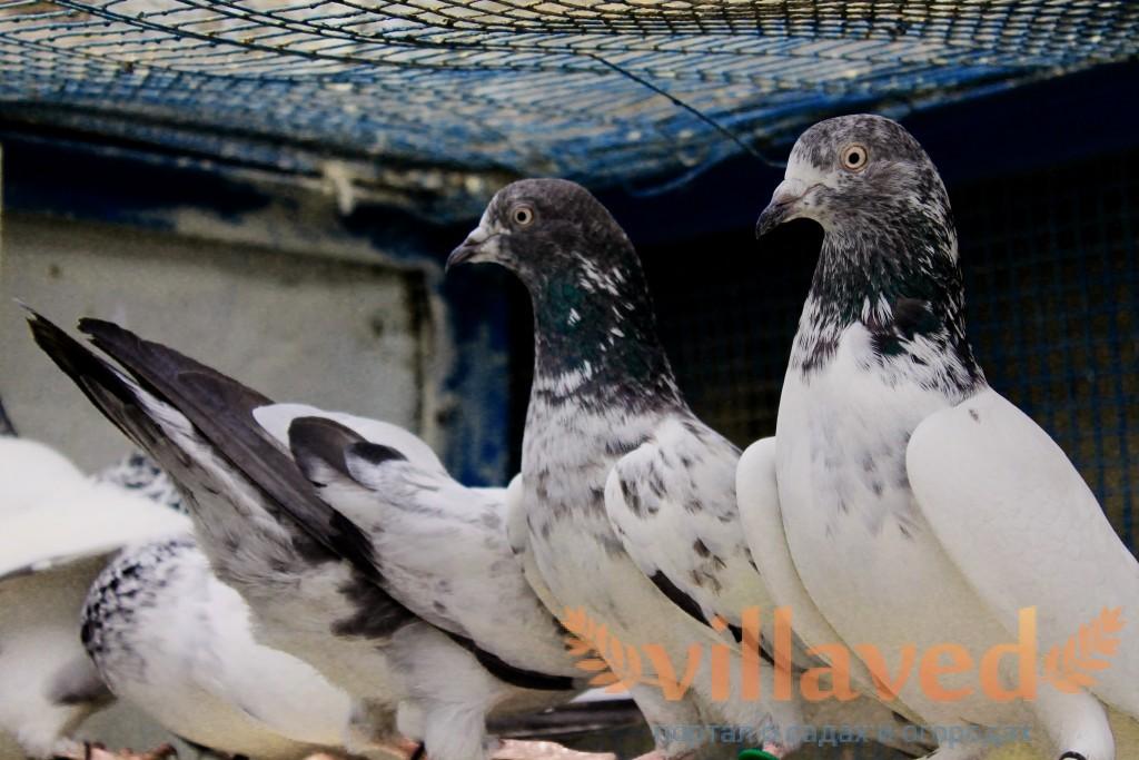 Искусные летуны пакистанские бойные голуби