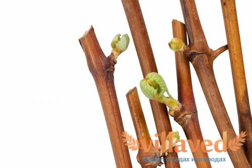 Посадка винограда черенками осенью